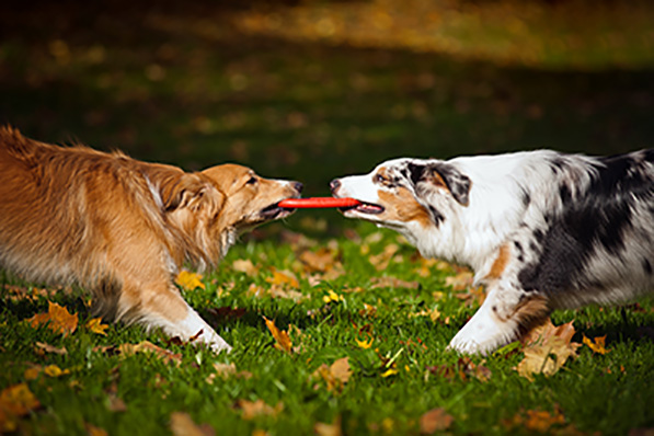 Two Dogs Playing With A Toy at Hi Five Boarding Kennels Perth