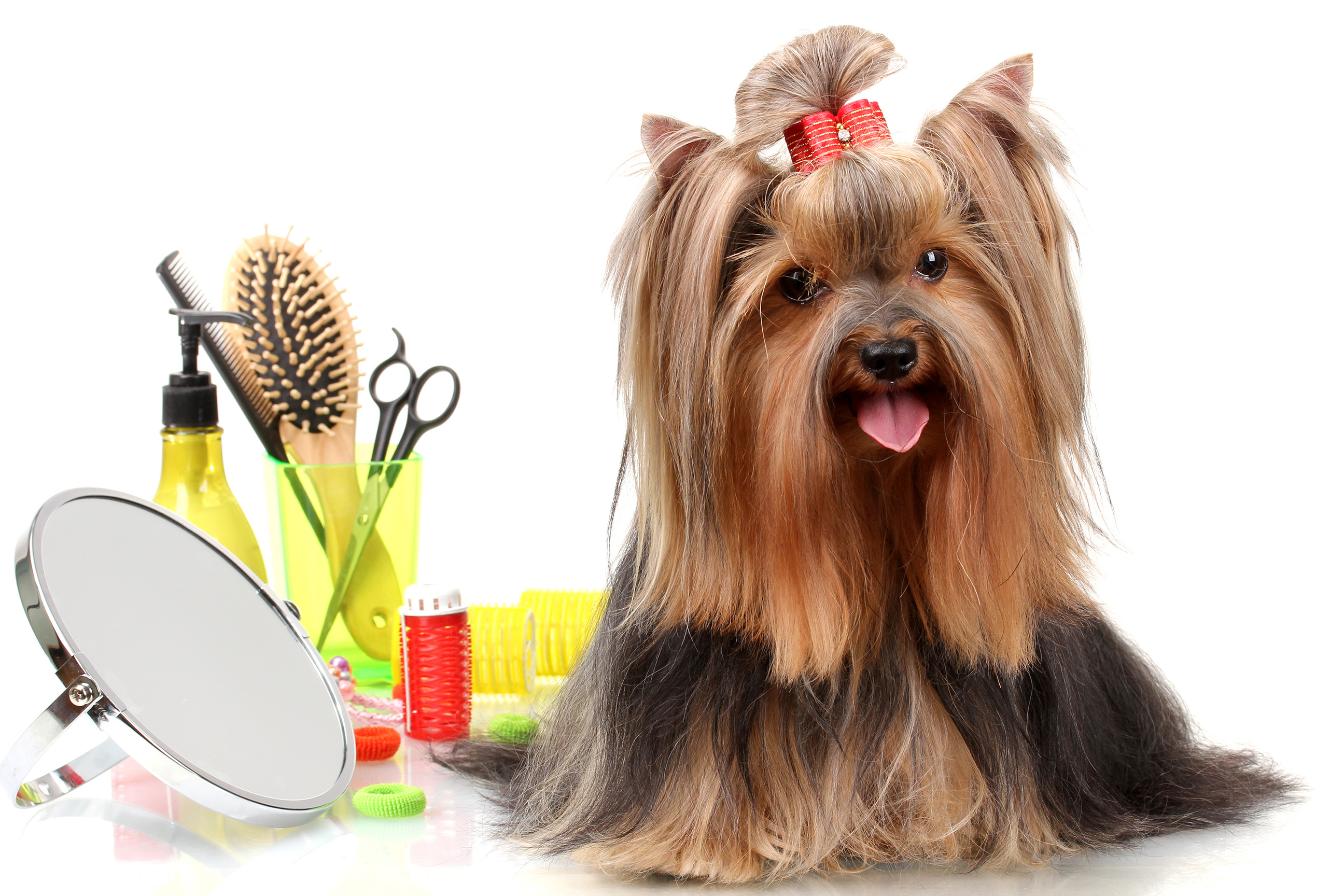 Beautiful yorkshire terrier with grooming items isolated on whit