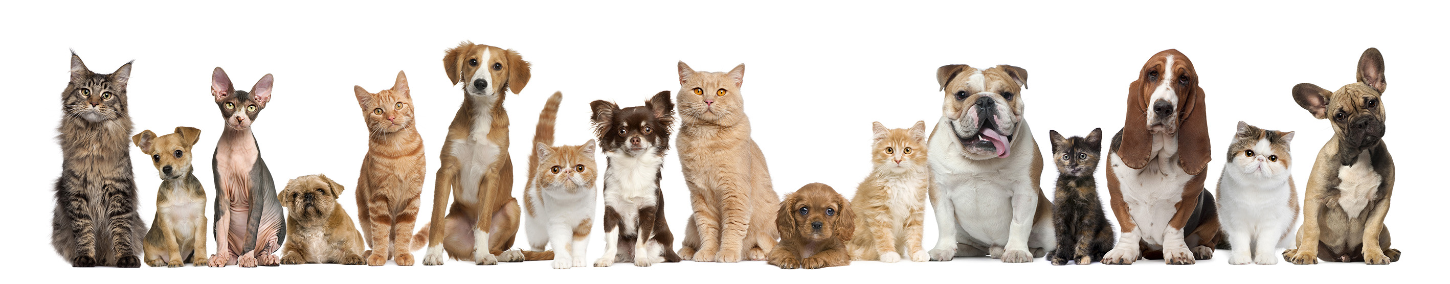 Group of cats and dogs in front of white background at Hi Five Boarding Kennels Perth